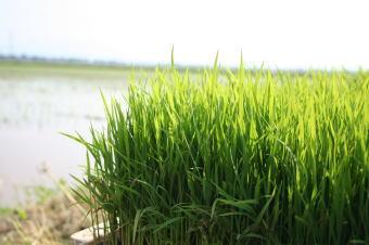 エコファーマーの米づくり