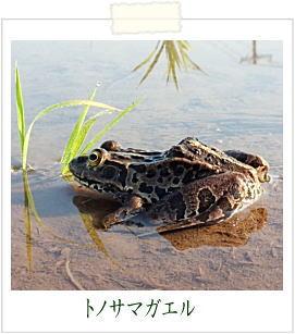 トノサマガエル