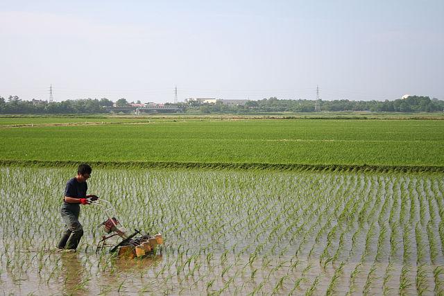 無農薬米コシヒカリの除草