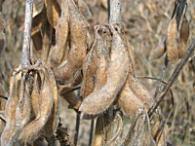 収穫直前の大豆
